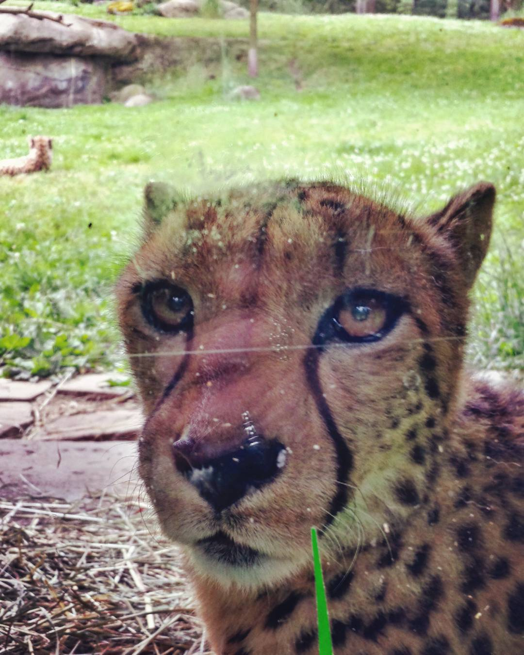And then the cheetah she turned to look at mehellip