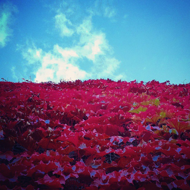 Red ivy to the sky